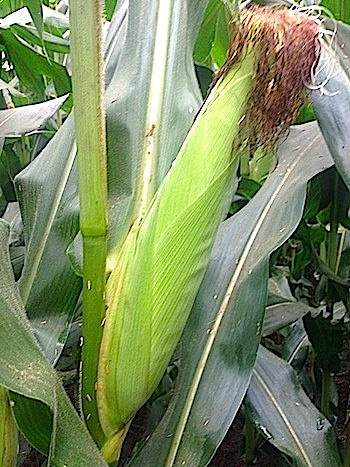 Full Ears of Corn by July 4
