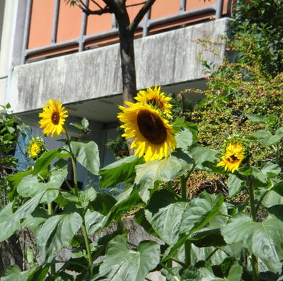 Sunflowers growing on the Balcony